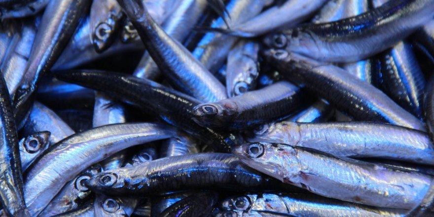 İstanbul Balıkçılar Cemiyeti bedava hamsi dağıttı