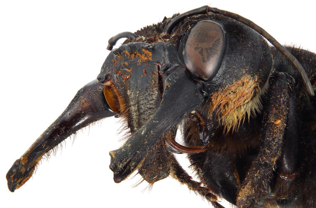 Nesli tükendiği düşünülen dünyanın en büyük arısı Megachile pluto'ya Endonezya'da gözlemlendi tarihte bugün