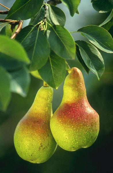 Düzce'nin Akçakoca İlçesi'nde armut ağacı meyve verdi. Dalları armutla dolan ağaç, görenleri şaşırttı. tarihte bugün
